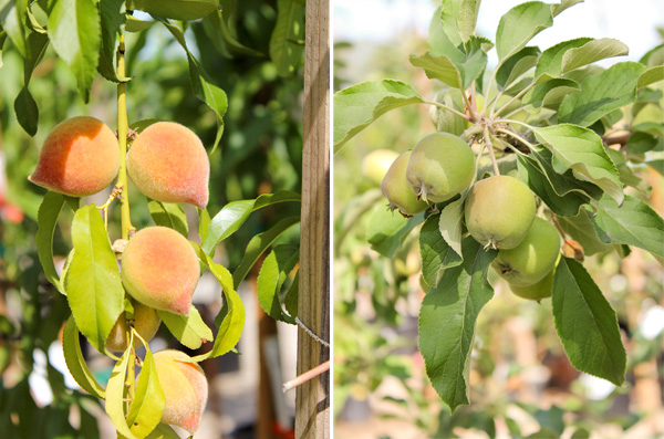 We Proudly Carry Dave Wilson Fruit Trees Grown In Our Very Own Central California Visit Their Website For More Information And Instructional Videos