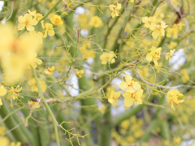 Water wise plant of the week cercidium desert museum palo verde in spring this tree will get covered in dazzling yellow flowers that will brighten up any landscape mightylinksfo