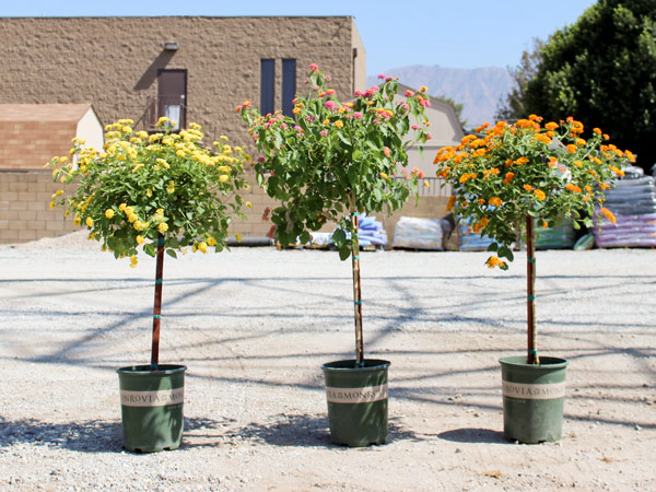 Water Wise Plants Of The Week Quot Little Ollie Quot Shrub
