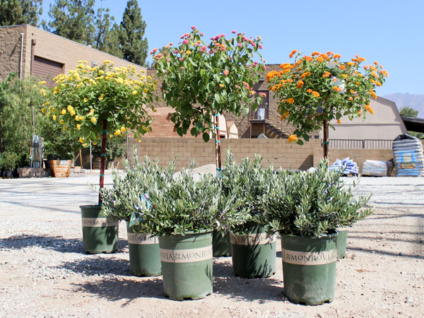 Water Wise Plants Of The Week Little Ollie Shrub Lantana