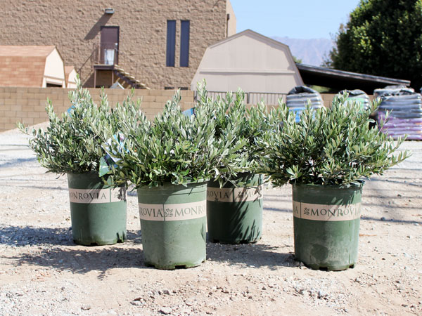 """Water Wise Plants Of The Week: """"Little Ollie"""" Shrub"""