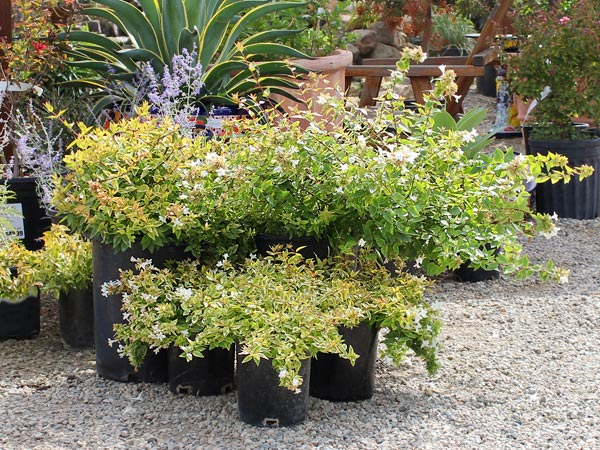 water wise plant of the week abelia kaleidoscope. Black Bedroom Furniture Sets. Home Design Ideas