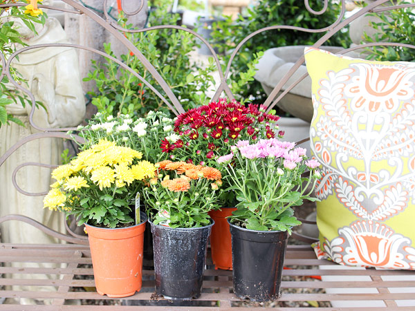 ... Gardens With All The Gorgeous Colors In Stock. From Mums To Snapdragons  And Even Decorative Cabbage, We Have A Wide Variety Of Fall Plants And  Flowers ...