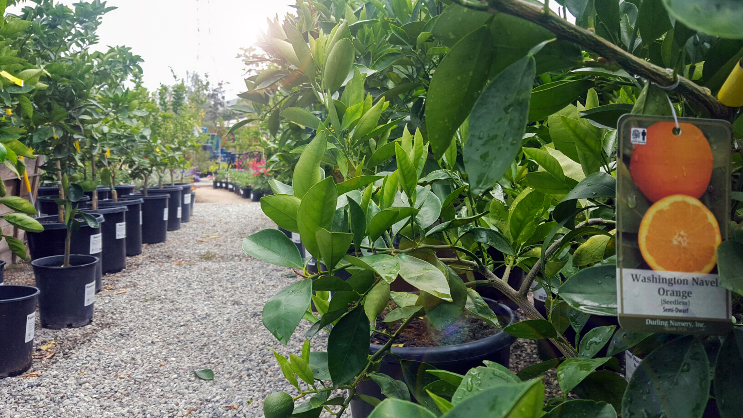 Come Check Out Our Latest Shipment Of Luscious Fruits We Have Standard And Dwarf Varities Suitable For A Garden Any Size